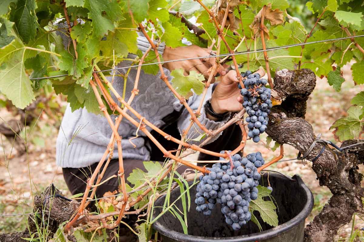 Travaux viticoles